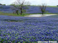 Texas bluebonnets.  Love!