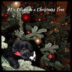 #1sleep - On the final sleep 'til Christmas we found an Oliver in a Christmas tree!