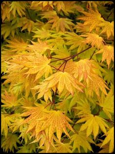 (Zones 4 – Add glowing golden foliage to the garden Autumn Moon Fullmoon Maple -- New growth unfurls yellow to burnt orange; fall foliage displays shades of gold to red. Right sized for small gardens with limited space. Partial to full sun. Garden Shrubs, Garden Trees, Garden Plants, Trees And Shrubs, Trees To Plant, Deciduous Trees, Arrangements Ikebana, Landscape Design, Garden Design