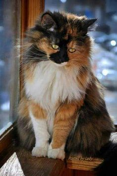 Long haired calico cat, in window.