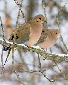 Mourning Doves in the snow.
