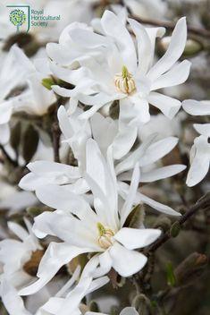 Royal Horticultural Society - RHS - Flower - Magnolia stellata