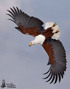 Birds of Prey - African Fish-Eagle Saw this bird when I was a Peace Corps volunteer in Kenya. Awesome