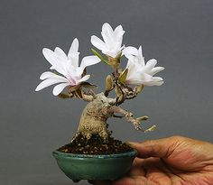 A ultra-tiny, Magnolia bonsai tree! Bonsai trees are a trendy, new home decor accent that make great gifts and adds much needed color to any environment. Mame Bonsai, Plantas Bonsai, Magnolia Trees, Magnolia Flower, Arrangements Ikebana, Mini Plants, Pot Plants, Cactus Plants, Art Japonais