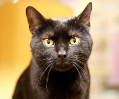 Available for adoption - *Chester is a male cat, Domestic Short Hair, located at All Cats Rescue in Sioux Falls, SD.