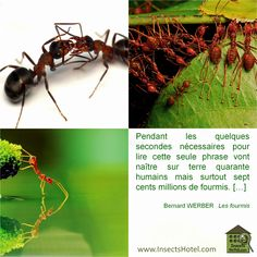 #Fourmis #insectes #InsectHotel #insecte #nature #biologie #animal #animaux #faune www.InsectsHotel.com