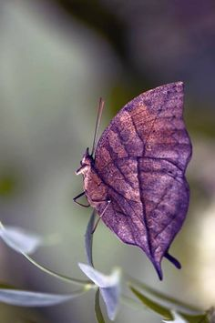 dead leaf butterfly. From a distance this butterfly looks like a purple fox. How cool!!