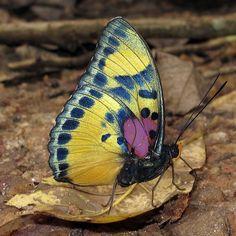 Janetta Themis Forester - Euphaedra janetta Bobiri Forest Reserve, Ghana