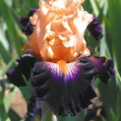 Iris 'Greatest Show On Earth'