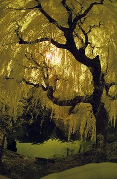 """A lone Willow Tree stands tall in a field  only a breath away from the forest of Pine Trees.  There she sits in her quiet and grace  as she listens to the chorus of their promise of glory.  She stands in awe of their strength and majesty  nearly heading their music, singing, """"Come now and join me"""""""