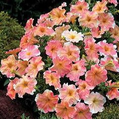 Petunia Dolcissima Flambe. 2005 Fleuroselect Quality Mark. Perfect for Mother's Day! Creamy-white, pale yellow, and soft rosy tones in all combinations on eye-catching plants. No two blooms just alike!