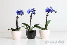 Уход за мини-орхидеями
