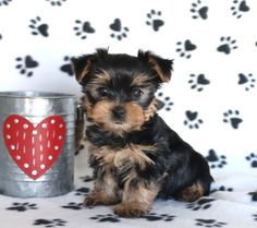 😍Just in time for #ValentinesDay!😍 One of these absolutely #adorable #YorkshireTerrier puppies would make the #perfectgift🎁 for that someone special! These #sweethearts can't wait to meet you!🎀🌸 #Charming #PinterestPuppies #PuppiesOfPinterest #Puppy #Puppies #Pups #Pup #Funloving #Sweet #PuppyLove #Cute #Cuddly #Adorable #ForTheLoveOfADog #MansBestFriend #Animals #Dog #Pet #Pets #ChildrenFriendly #PuppyandChildren #ChildandPuppy #BuckeyePuppies www.BuckeyePuppies.com Yorkie Puppy For Sale, Puppies For Sale, Puppy Love, Cute Puppies, Dogs And Puppies, Yorkie Puppies, Small Dog Breeds, Small Dogs, Lancaster Puppies