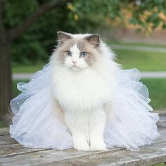 The Fluffy Cat Princess