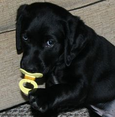 black lab puppy!