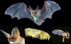 Mondays are BAT-TASTIC at Lindsay, and we're celebrating the Pallid Bat (Antrozous pallidus)! This medium-sized bat with light brown or grey-yellow fur, white underside, and large ears is a 'Species of Special Concern' in CA.