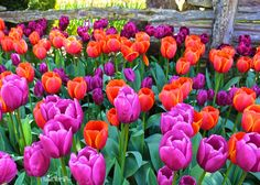 Spring Brilliance, Visiting the Tulip Gardens of RoozenGaarde