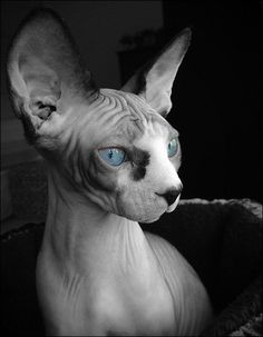 The Dwelf cat is a new cat breed. This cat includes the bald attribute of the Sphynx cat, the small thighs of the Munchkin kitten along with the curled ears of the American Curl. The result is a really unique-looking pet. Dwelf Cat, Rex Cat, Beautiful Cats, Animals Beautiful, Cute Animals, Crazy Cat Lady, Crazy Cats, I Love Cats, Cute Cats
