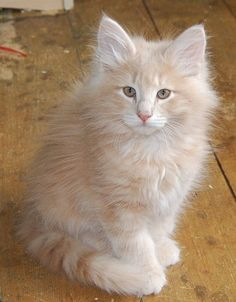 Like Angel!  Norwegian forest cat!