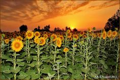 sunset on the sunflowers field