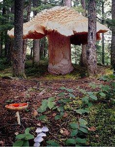 Funghi -Il più grande del mondo è quello che è stato scoperto nelle Blue Mountains (Oregon, USA). Cerca con Google