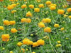 SHADY FLOWER PERENNIAL: Globeflower (trollius)