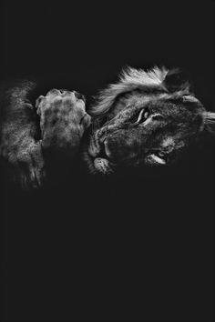 Lion Wallpaper, Animal Wallpaper, Black Wallpaper, Beautiful Creatures, Animals Beautiful, Animals And Pets, Cute Animals, Lion Photography, The Lion Sleeps Tonight