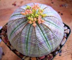 Euphorbia Obesa whoah mama succulent