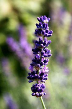 English & French Lavender