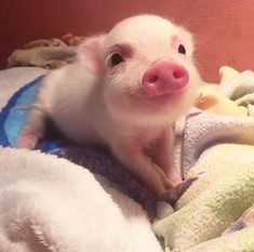 Miniature Pet Pigs – Why Are They Such Popular Pets? – Pets and Animals Cute Baby Pigs, Cute Piglets, Cute Baby Animals, Animals And Pets, Cute Babies, Baby Teacup Pigs, Baby Piglets, Nature Animals, Mini Piglets