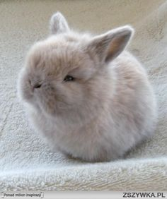 Baby Netherland Dwarf Bunny It's so fluffy, I am going to die! Netherland Dwarf Bunny, Dwarf Bunnies, Bunny Rabbits, Cute Baby Bunnies, Cute Little Animals, Cute Creatures, Animals Beautiful, Animal Pictures, Cute Bunny Pictures