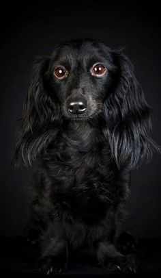 .black long-haired doxie.