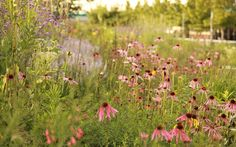 London 2012: The Olympic Park in bloom .  The overall effect of the planting is very 'natural', ie plants growing together in spontaneous drifts. However, they have been brought together deliberately to create a low-maintenance, long flowering display.  Picture: SARAH PRICE
