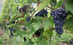 Moselwein: Blaue Trauben für den roten Wein  #Wein #Weinanbau #Weintrauben