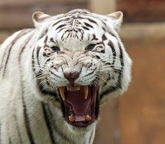 witte tijger Ouwehands IMG_0612