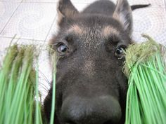 #pastoralemao #GSD #germansheperd Paçoca Creyssa Phyna - Glamour, ruivice e sacolagem Glamour, Horses, Animals, Animaux, Horse, Animal, Animales, Animais