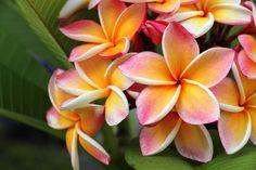 15 des meilleures plantes pour un jardin délicieusement parfumé Essential Oil Supplies, Pure Essential Oils, Flowering Trees, Trees And Shrubs, Plumeria Tree, Oahu Vacation, Decoration Plante, Hawaiian Flowers, Home Scents
