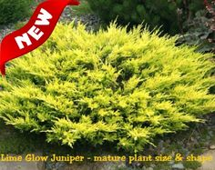 Lime Glow Juniper is a low growing evergreen shrub with soft feathery textured foliage that is bright chartreuse yellow when new, fading to a slightly darker lime green when mature. Works great as a groundcover, or for colorful accents and borders.