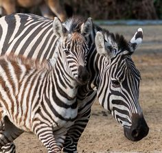 Sporting her fluffy-soft baby fur, a Zebra foal galloped in the winter sun during her debut at the Berlin Zoo. Learn more at ZooBorns.com and at http://www.zooborns.com/zooborns/2016/01/zebra-foal-shows-off-fluffy-soft-baby-fur.html