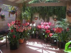 porch plantings | Hippiastrums and Amaryllis make a fantastic display on patios and ...
