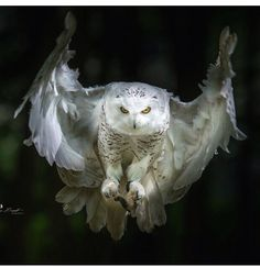 Snowy owl going for the kill…