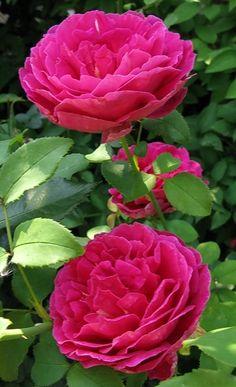 'Othello' - Austin (1986). Dik gevulde, komvormige bloemen (9-11cm), waarvan de kleur evolueert van donkerrood naar paars – hoe kouder het weer, hoe donkerder de kleur. Intense Oude rozen-geur. Mat donkergroen blad. Zeer doornig. Gevoelig voor meeldauw. 1,5m x 1,2 m.