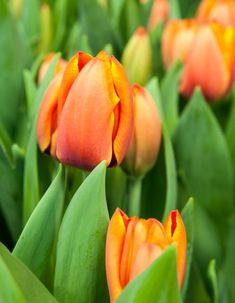 Helleborus- en Tulpendagen in de Noordoostpolder - GroenVandaag Garden, Flowers, Plants, Tulips, Garten, Gardening, Floral, Plant, Royal Icing Flowers