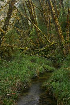 Queets Rainforest, Olympic National Park, WA