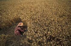 Wheat farming, Jammu, India