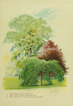 American Elm, ulmus americana, Purple Beech, fagus sylvatica purpurea, Camperdown Elm, ulmus camperdown pendula   ...