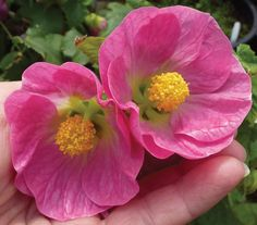 """Abutilon 'Talini's Pink'  'Yup, we're smitten with the large and delicious, pendulous pink blooms exhibited on this new variety of """"Flowering Maple"""". A nice and big 3"""" across, you get plentiful non-stop bloom  throughout the year. 'Talini's Pink' is easy, vigorous and fast growing to 6' x 5', with a dense and graceful branching pattern and attractive evergreen maple-like foliage.'  Z 9-11. Average water. Sun/Part Sun (Part Shade in hotter areas).  Annie's Annuals & Perennials"""