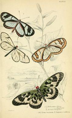 Foreign butterflies https://archive.org/stream/foreignbutterfli00dunc#page/138/mode/2up