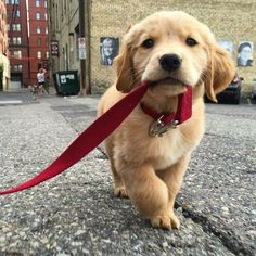 golden retriever puppy out for a walk
