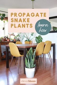This is the easiest tutorial on Pinterest! How to divide Sansevieria for beginners. The easiest way to propagate snake plants #cleverbloom #snakeplants #propagate #houseplants Snake Plant Propagation, Plant Care, Houseplants, Clever, Divider, Bloom, Diy, Inspiration, Home Decor